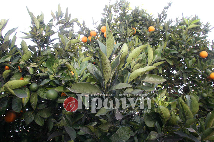 portokalia2