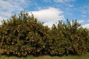 Μεγάλη η προσβολή στο πορτοκάλι