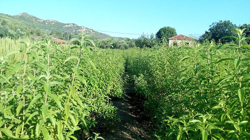 aroma-farms1