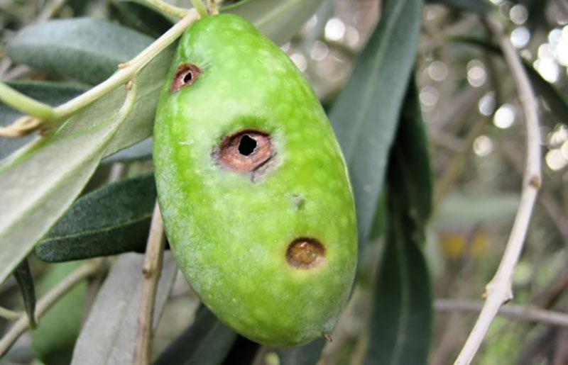 dakoktonia-xeria-elaiotrivewn