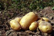 Προσδοκίες για τη φθινοπωρινή πατάτα στην Ηλεία
