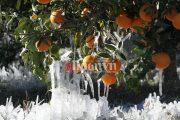 """""""Πάγωσε"""" ο κάμπος του Αλφειού - Ζημιές στα εσπεριδοειδή από τον ισχυρό παγετό"""