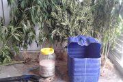 Συνελήφθη καλλιεργητής κάνναβης στα Λουτρά Κυλλήνης